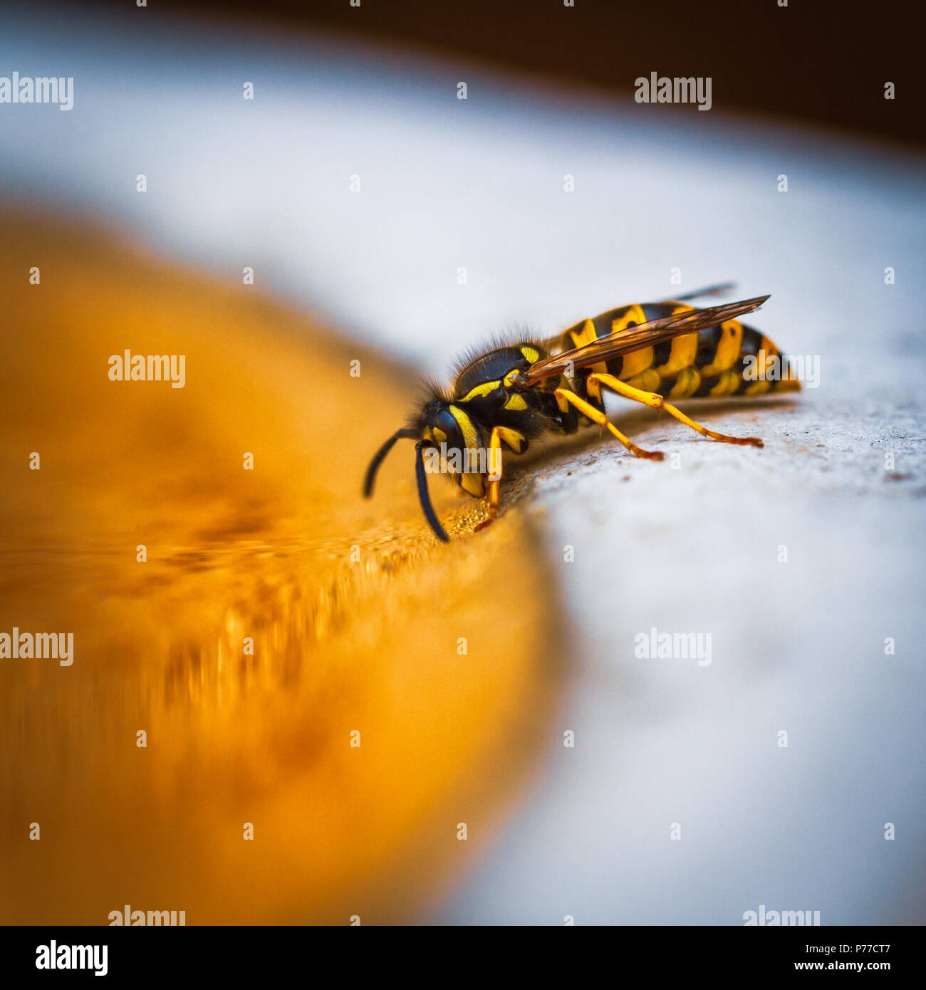 Wasp taking a drink in a bird bath - Stock Image