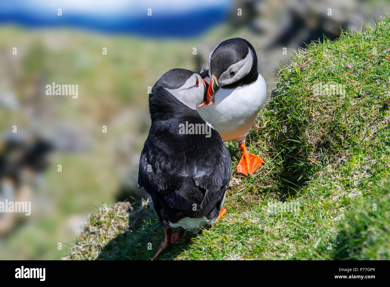 Atlantic puffins (Fratercula arctica) billing in front of burrow on sea cliff top in seabird colony, Hermaness, Unst, Shetland Islands, Scotland, UK - Stock Image