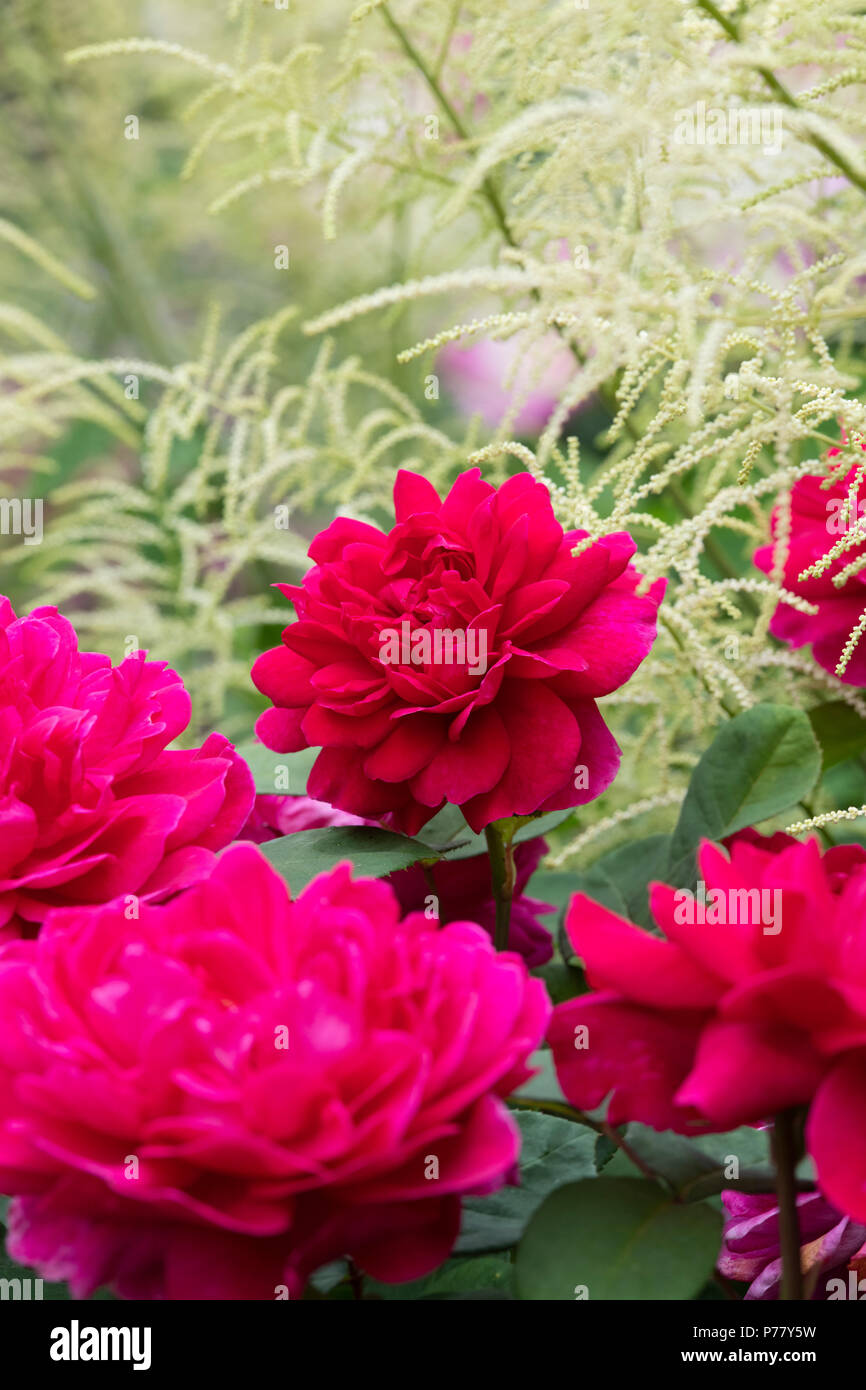 rosa. david austin rose. sophys rose growing amongst an astilbe