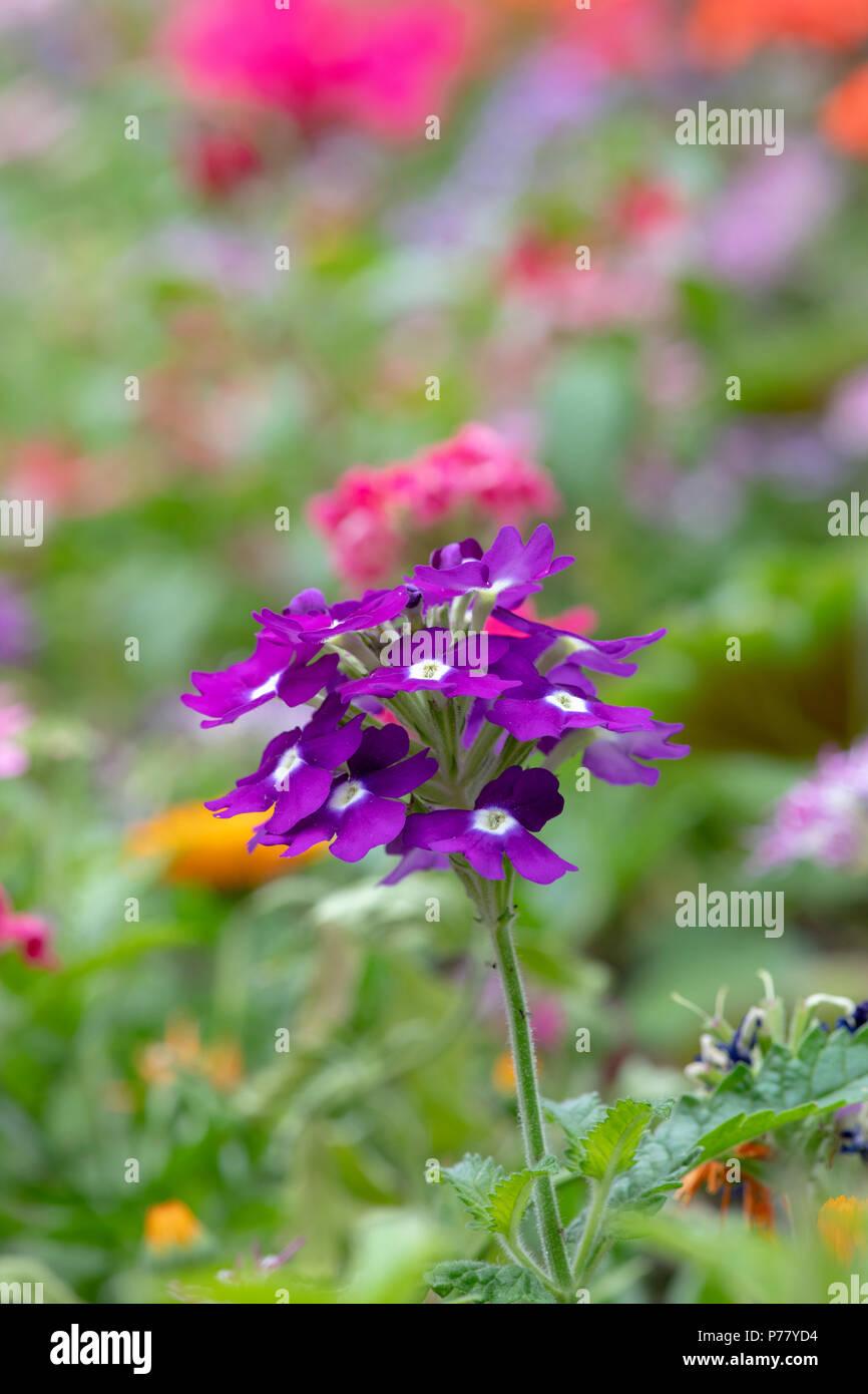 Verbena x hybrida 'Obsession cascade purple with eye'. Verbena flower - Stock Image