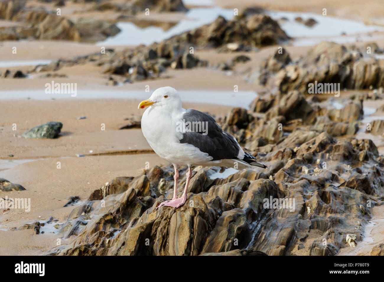 Western gull (Larus occidentalis) standing on rocks exposed by low tide in Laguna Beach, California. Stock Photo