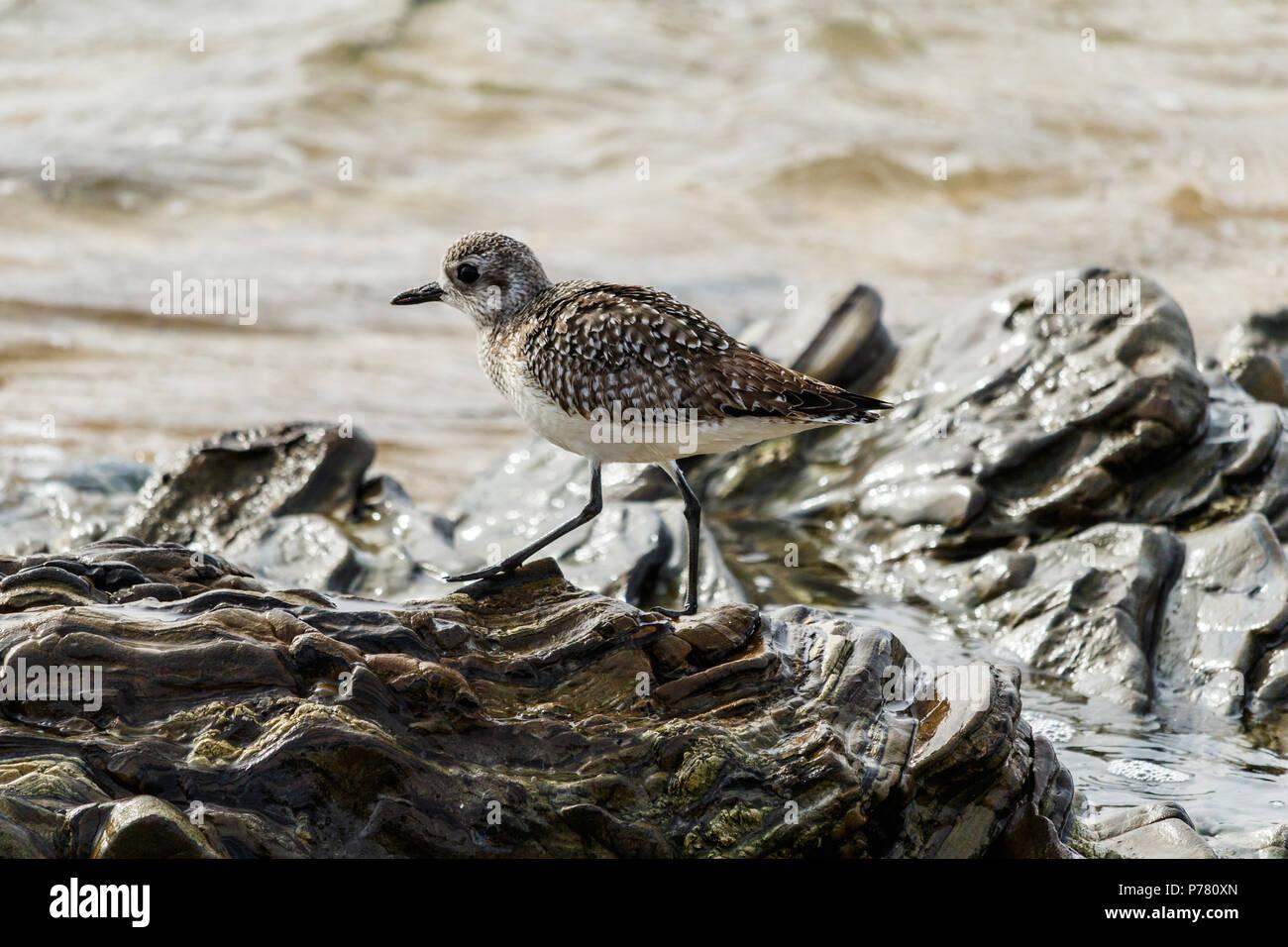 Solitary Sandpiper (Sanderling) walks across the top of sculptured rocks on the winter shore of Laguna Beach, California. Stock Photo