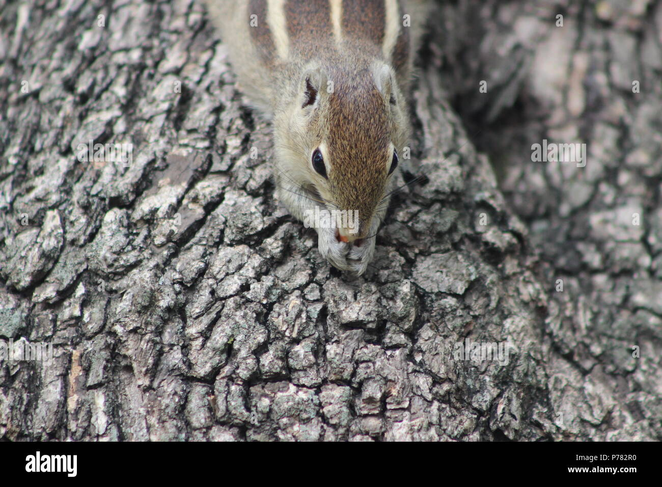 Squirrel eating a nuts - Stock Image