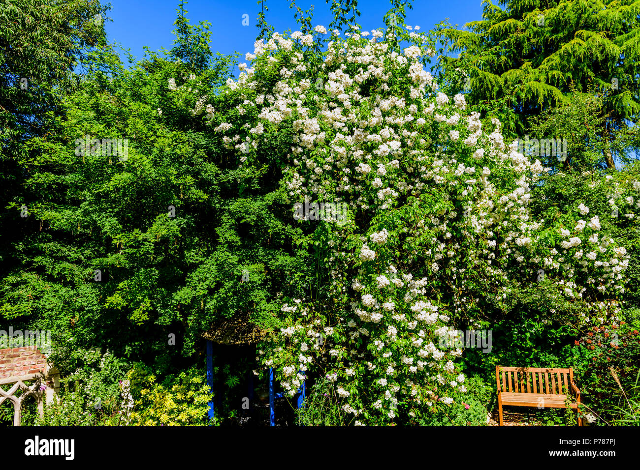 Rosa ' rambling rector ' - Stock Image