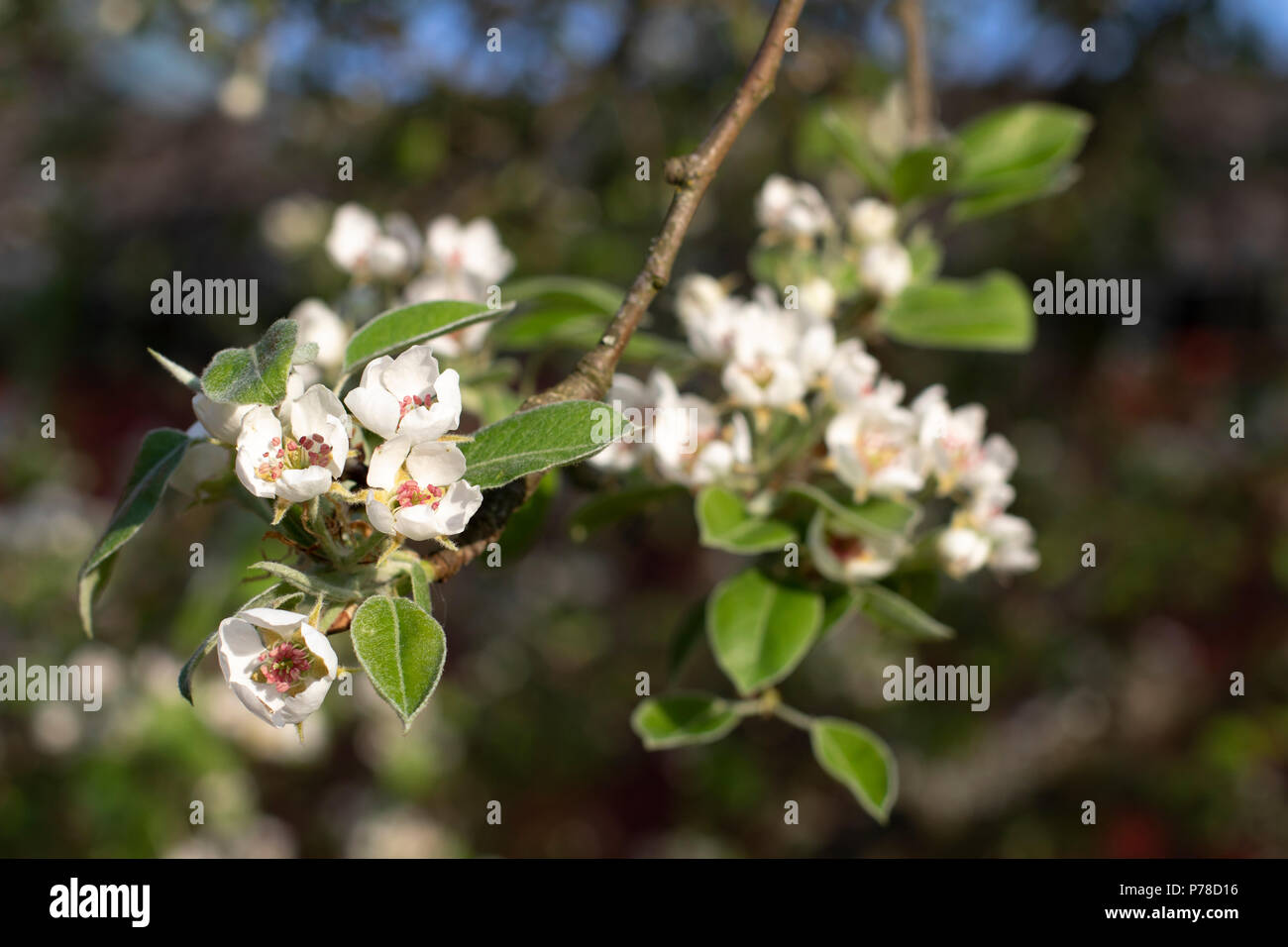 Fruit flowers - Stock Image