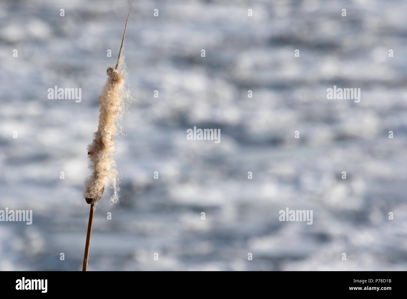 Last year's reed-mace - Stock Image