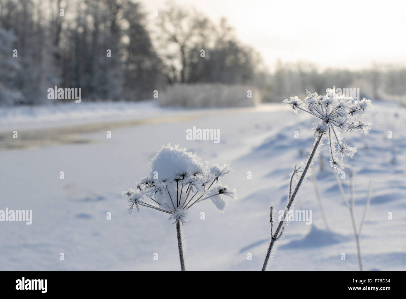 Frozen last year's flowers. - Stock Image