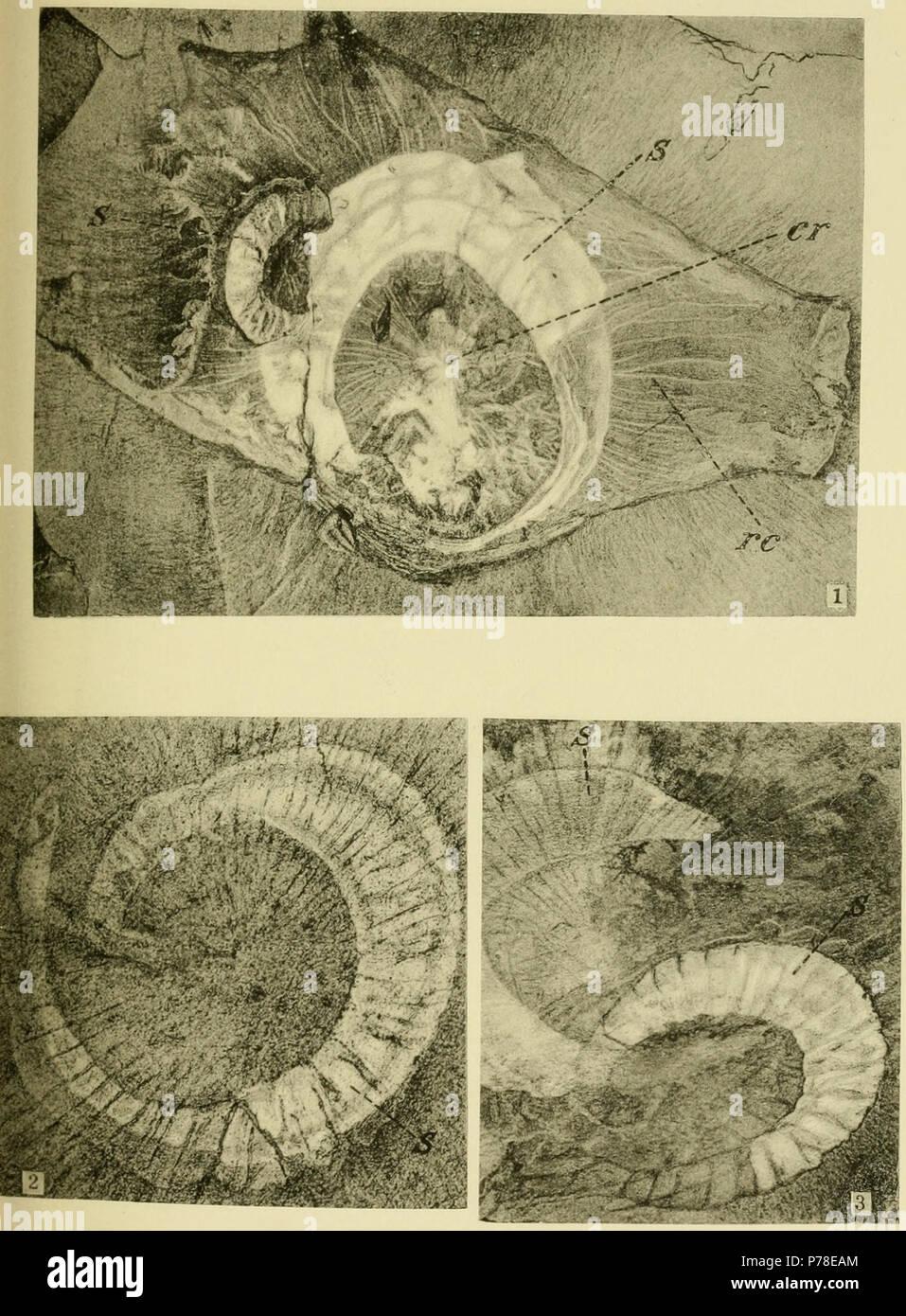 Plate 10: Middle Cambrian Holothurians (Eldonia) 1. Eldonia ludwigi Walcott = 2. Eldonia ludwigi Walcott = 3. Eldonia ludwigi Walcott = . 1911 65 Walcott Cambrian Geology and Paleontology II plate 10 Stock Photo