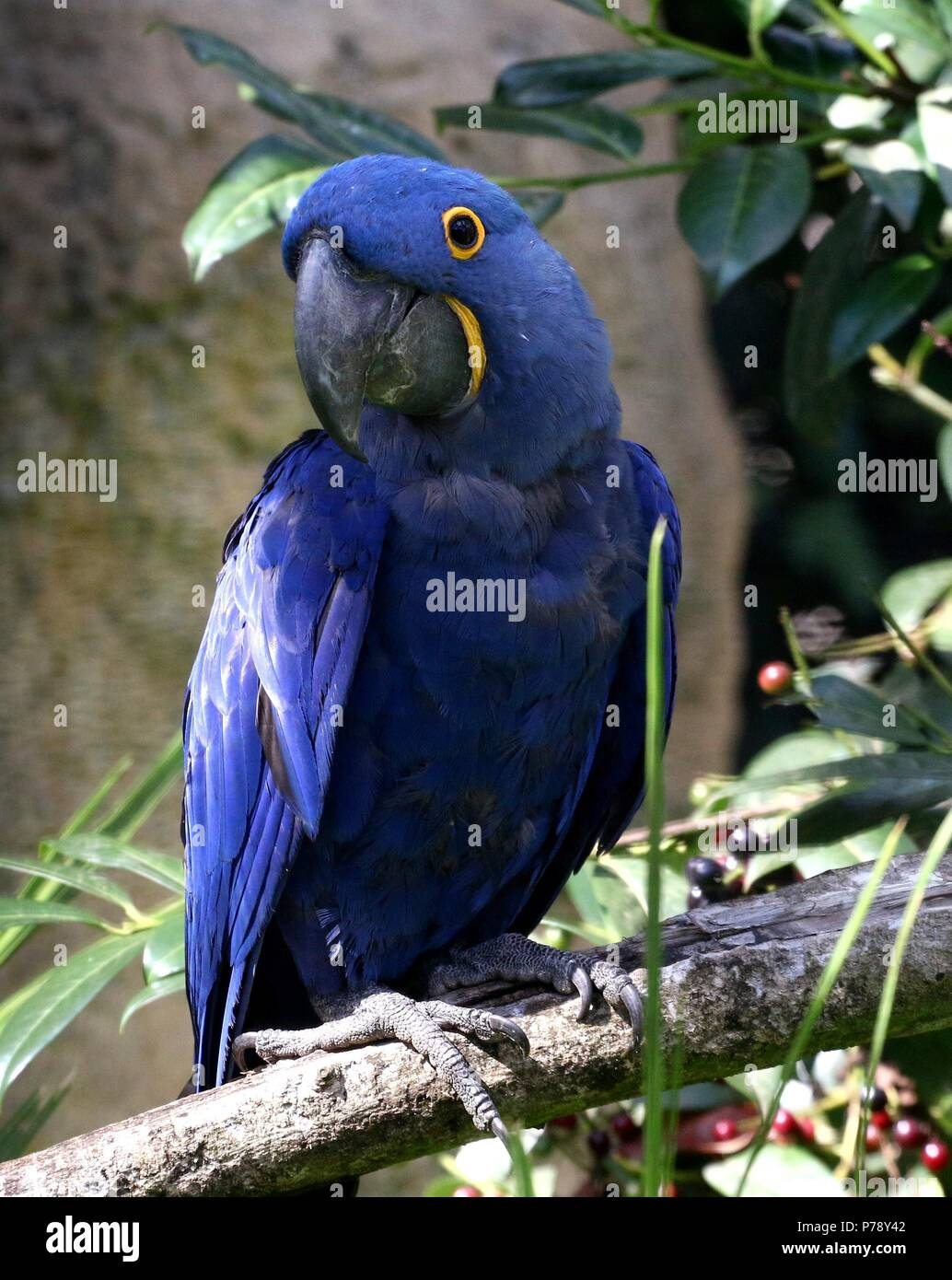 South American Hyacinth Macaw (Anodorhynchus hyacinthinus). in closeup. Stock Photo