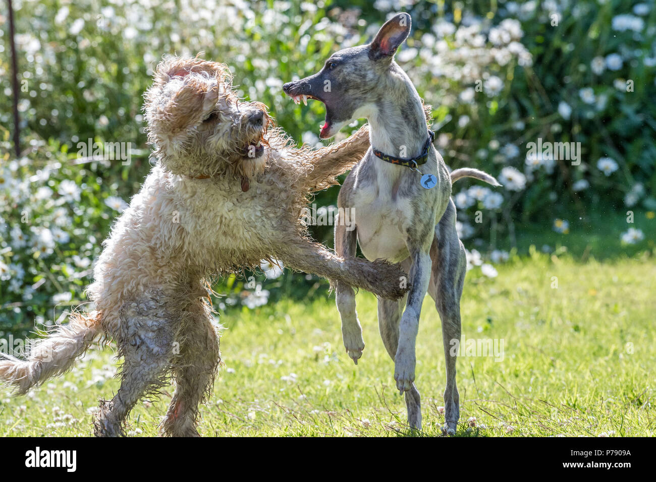 Cockapoo and Whippet dogs play fighting. - Stock Image