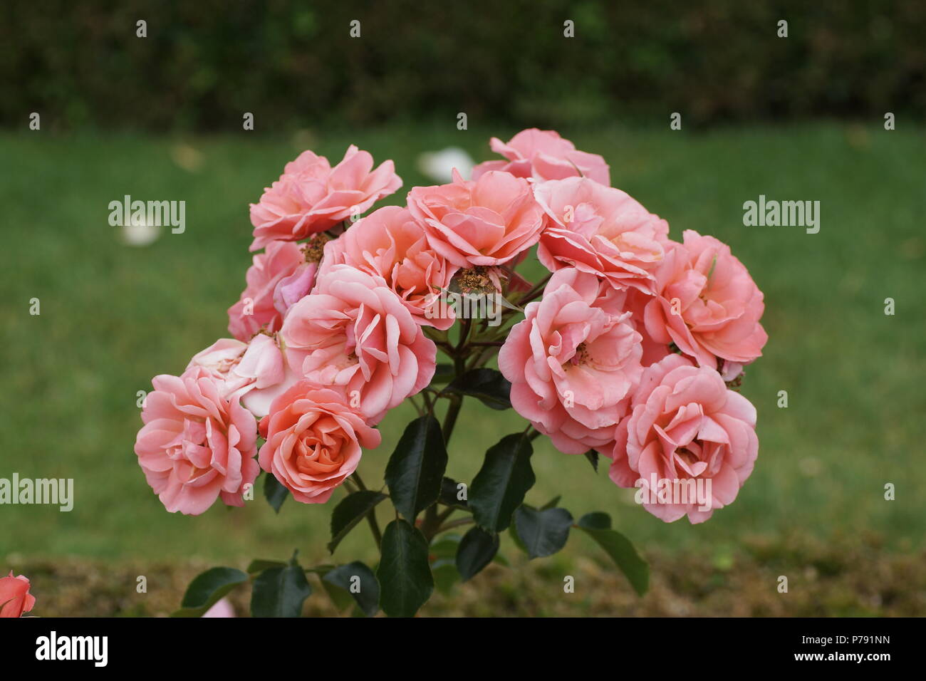 Rosa 'Fascination' - Stock Image