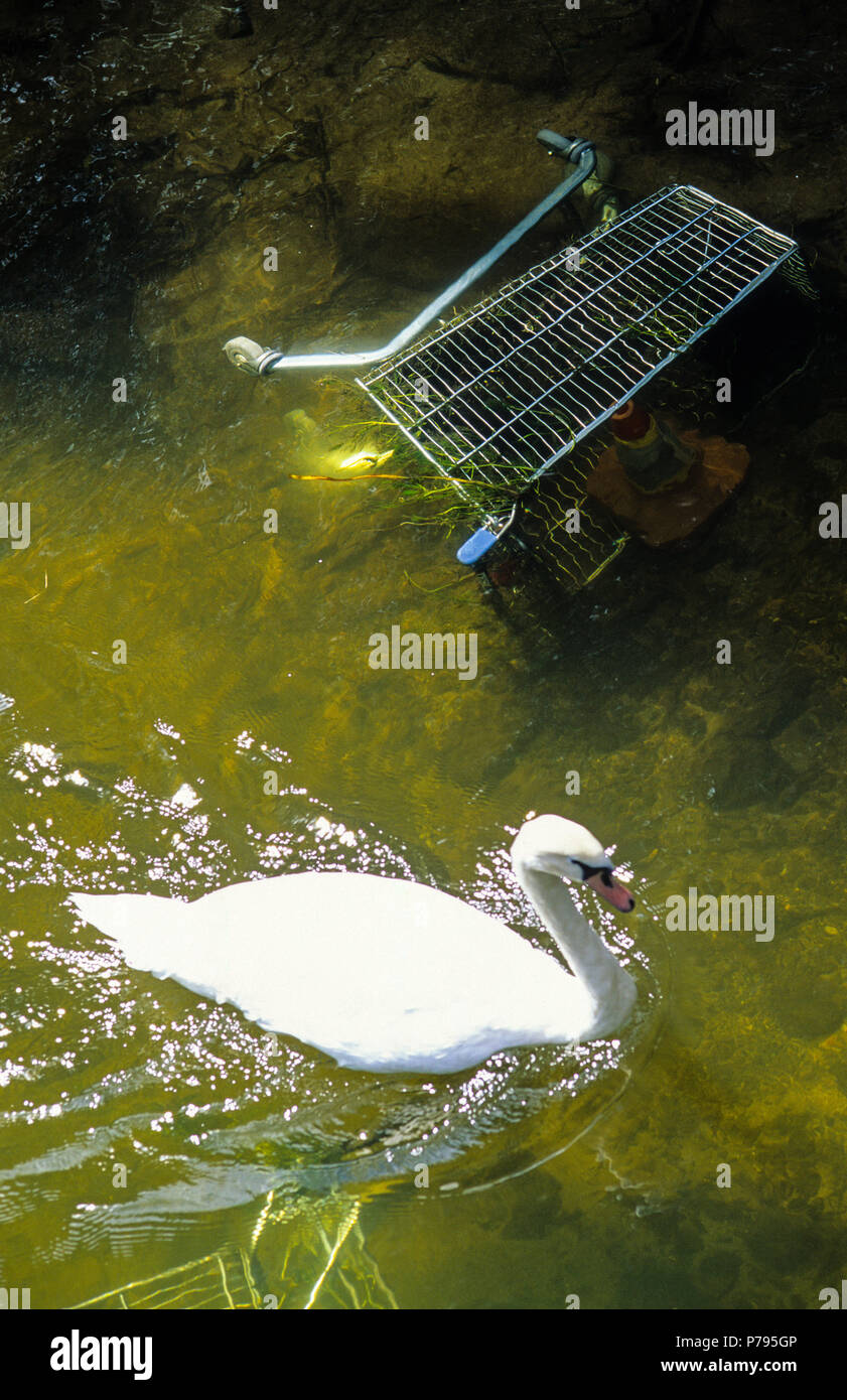 Swan and Abandoned Shopping Trolley, River Avon, Salisbury, Wiltshire, England, UK, GB. - Stock Image