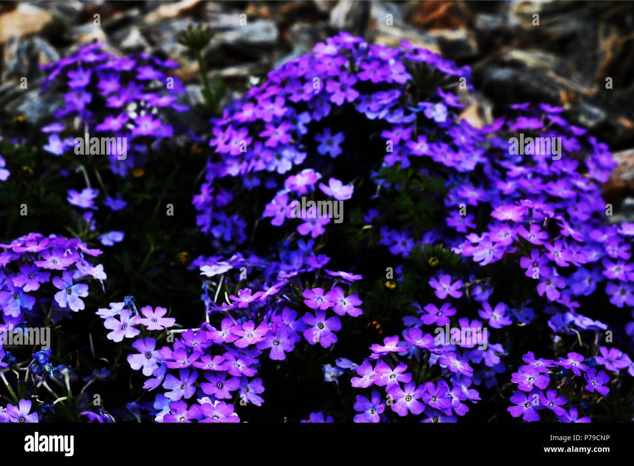 Big Bush Of Bright Blue Flowers Background Stock Photo 211034594