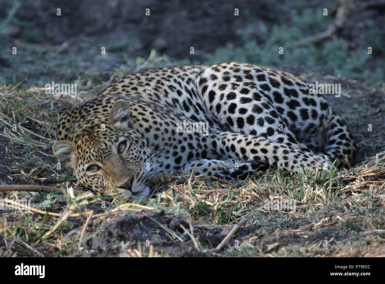 Katavi leopard snoozing - Stock Image