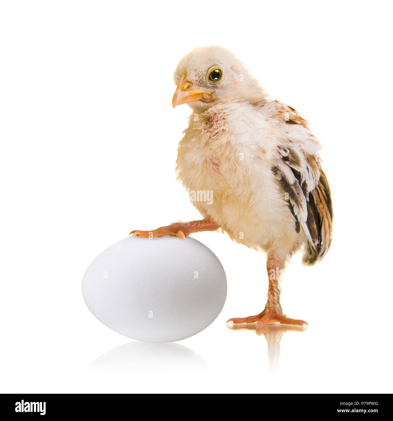 little chick and white egg on white background, isolated, close up - Stock Image