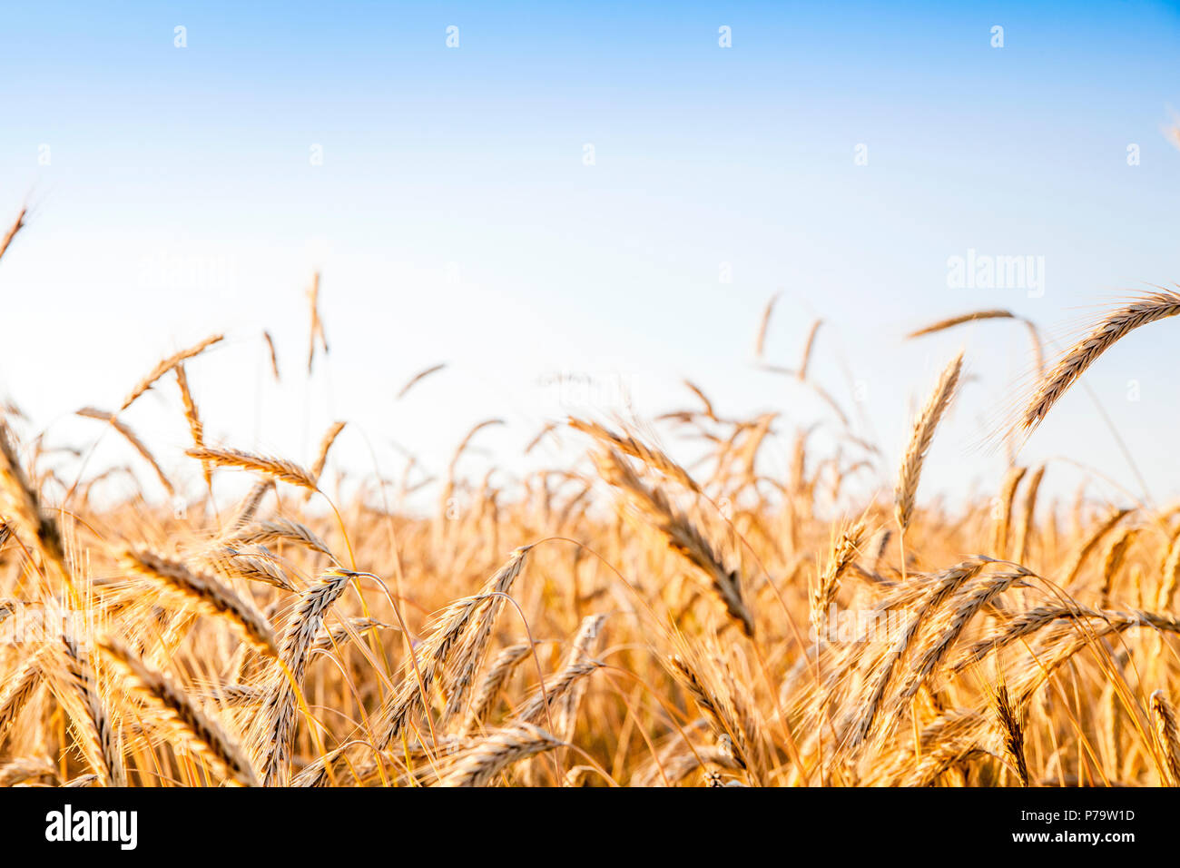 Rye and wheat fields ready for harvesting contrasting blue sky - Stock Image