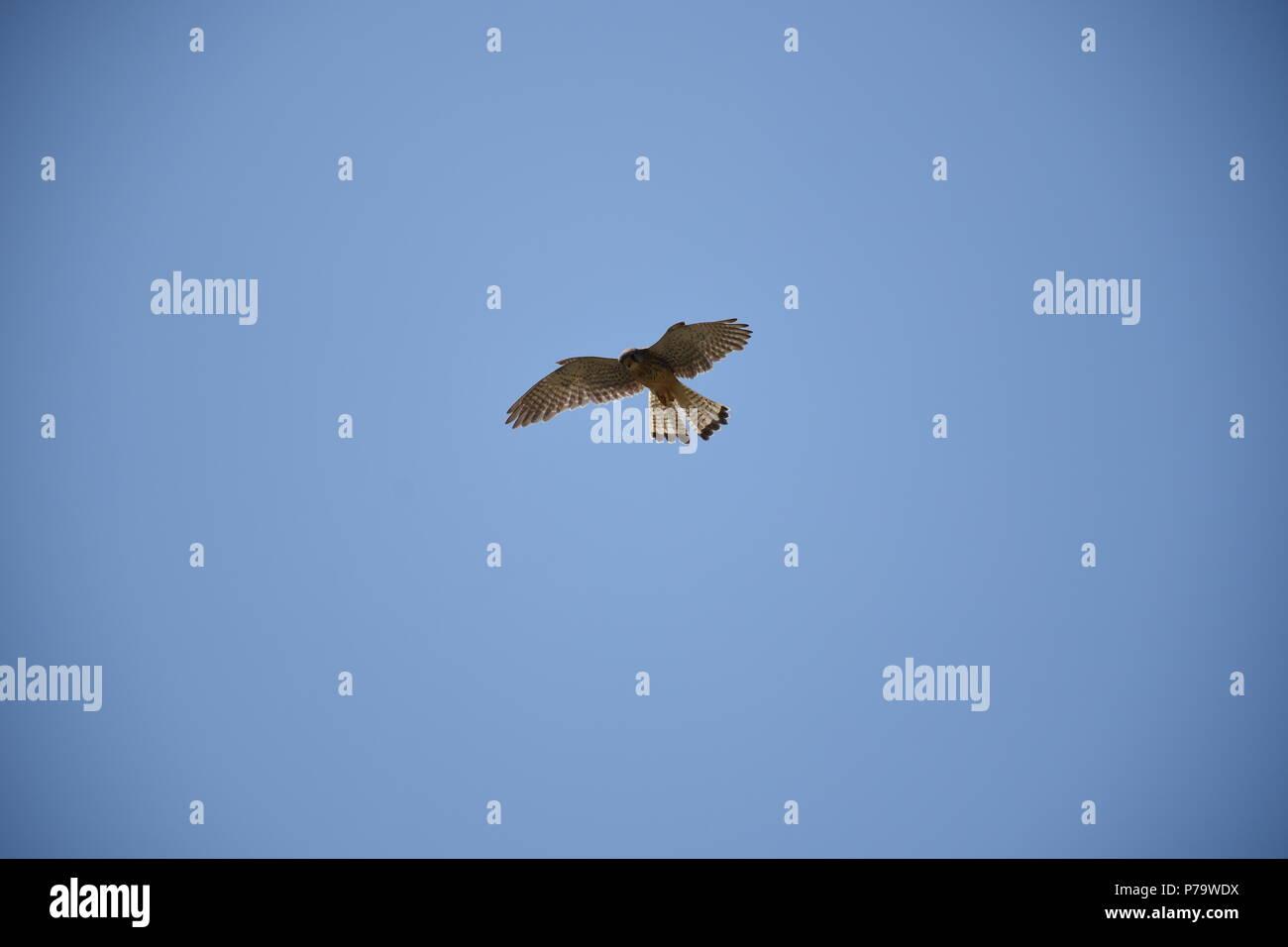 Turmfalke im Flug Stock Photo