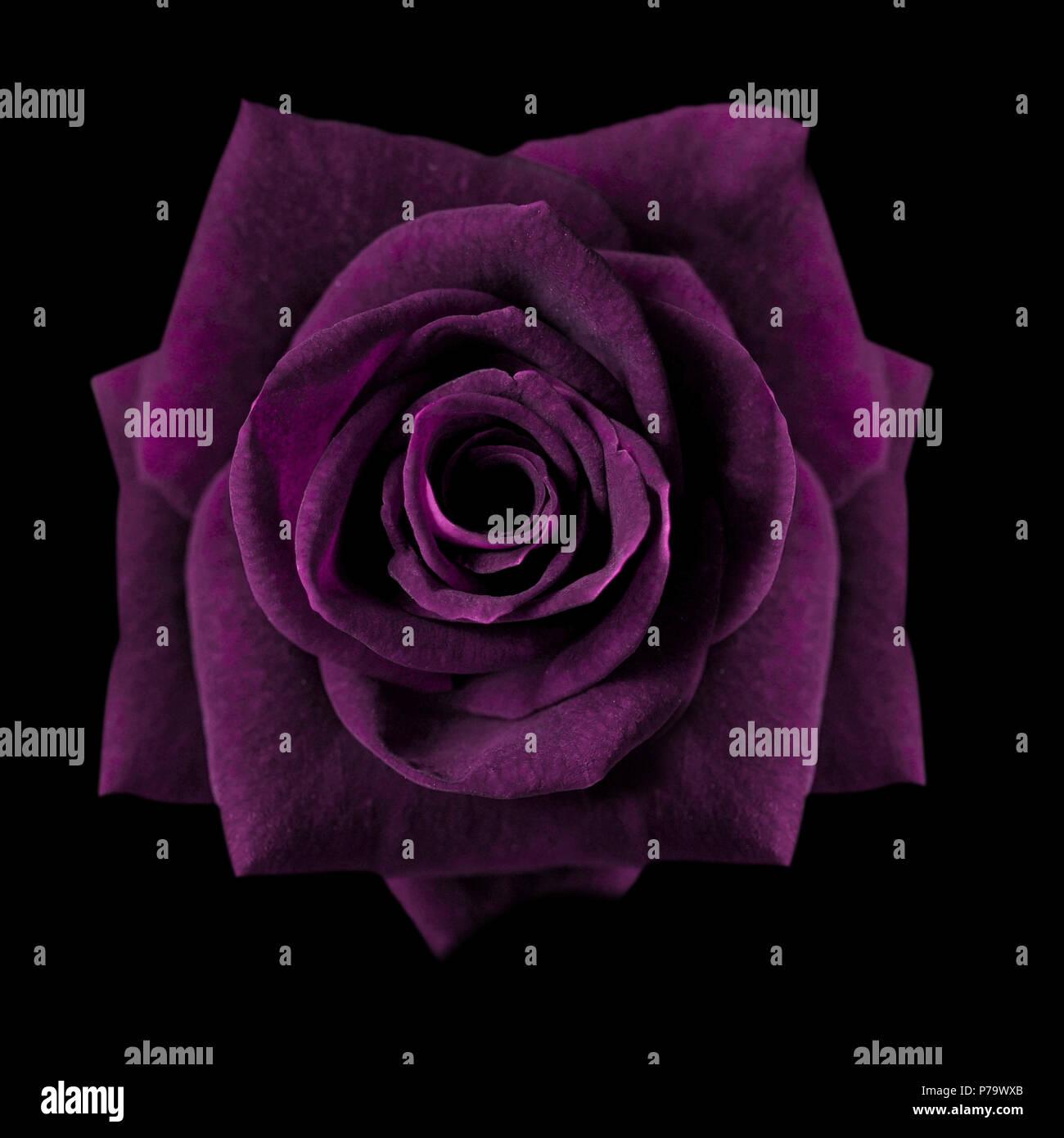 Dark purple roses background purple rose isolated on black dark purple roses background purple rose isolated on black background greeting card with a luxury roses image dark tone m4hsunfo