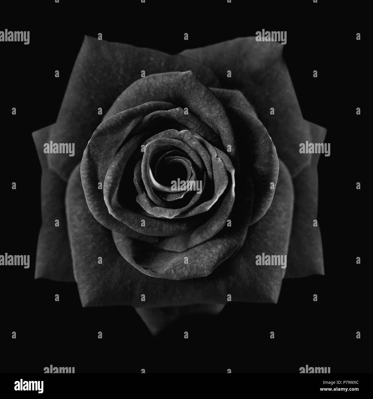 Dark Red Roses Background Red Rose Isolated On Black Background Greeting Card With A Luxury Roses Image Dark Tone Stock Photo Alamy