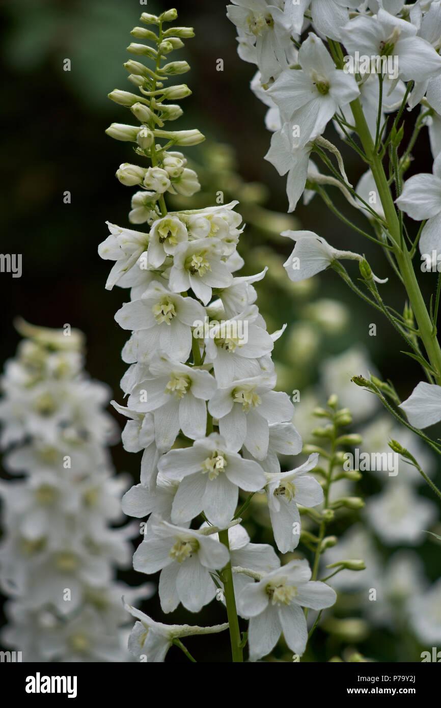 Delphinium Elatum Flower White Alpine Delphinium Blooming Flowers
