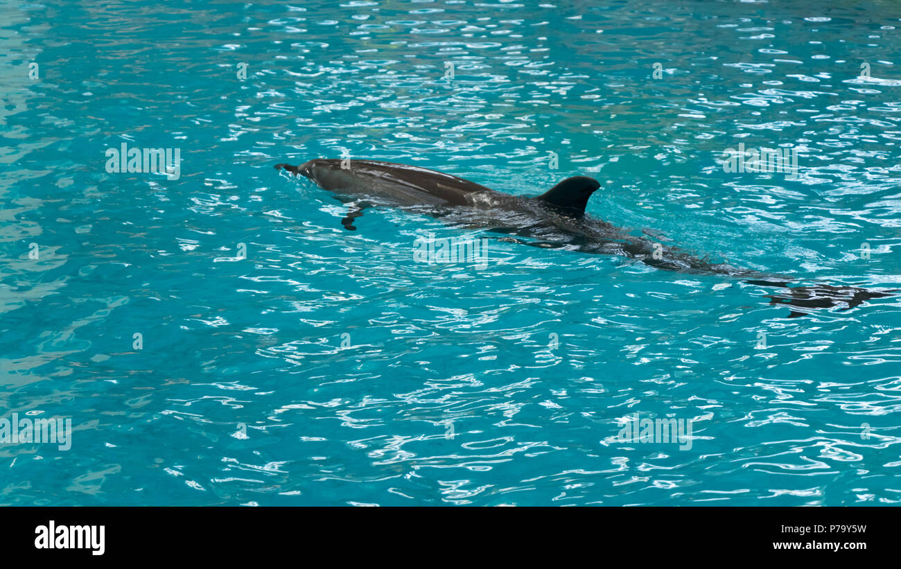 A young dolphin swim slowly - Stock Image