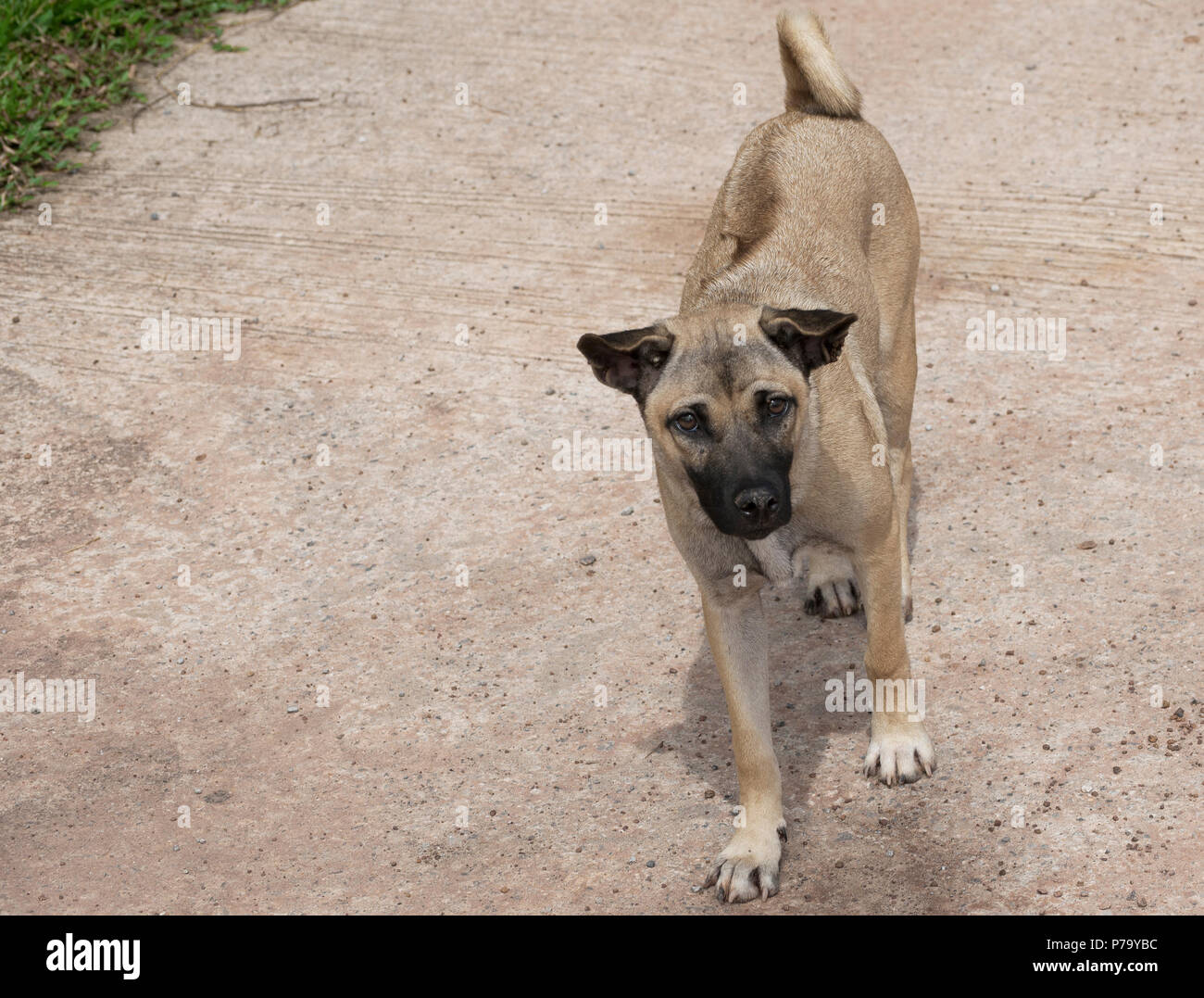 Thai Ridgeback male dog (Canis) mixed breed wheaten colour black nose standing on concrete road in Udon Thani, Isaan, North East Thailand - Stock Image