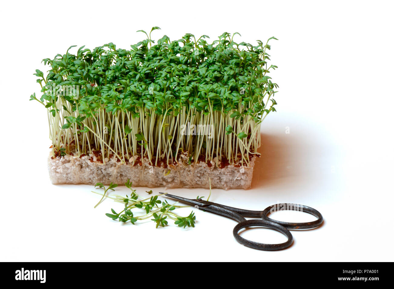 Berühmt Gartenkresse, Lepidium sativum, Kresse-Sprossen, Kressesprossen @MI_65