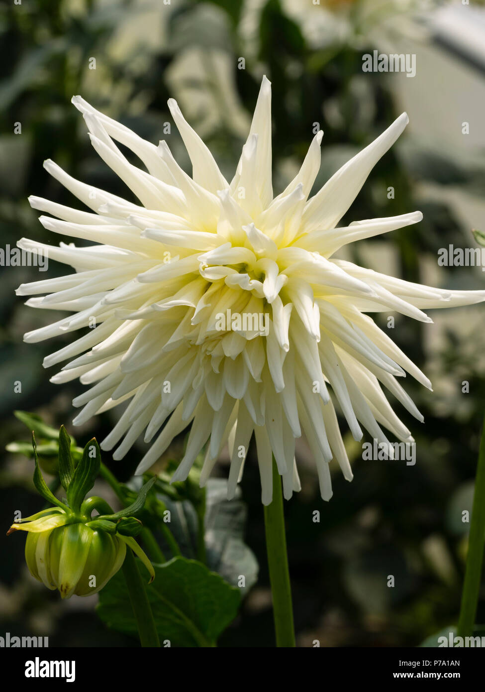 Pure white cactus type flower of the half-hardy, summer flowering, Dahlia 'Tu Tu' - Stock Image