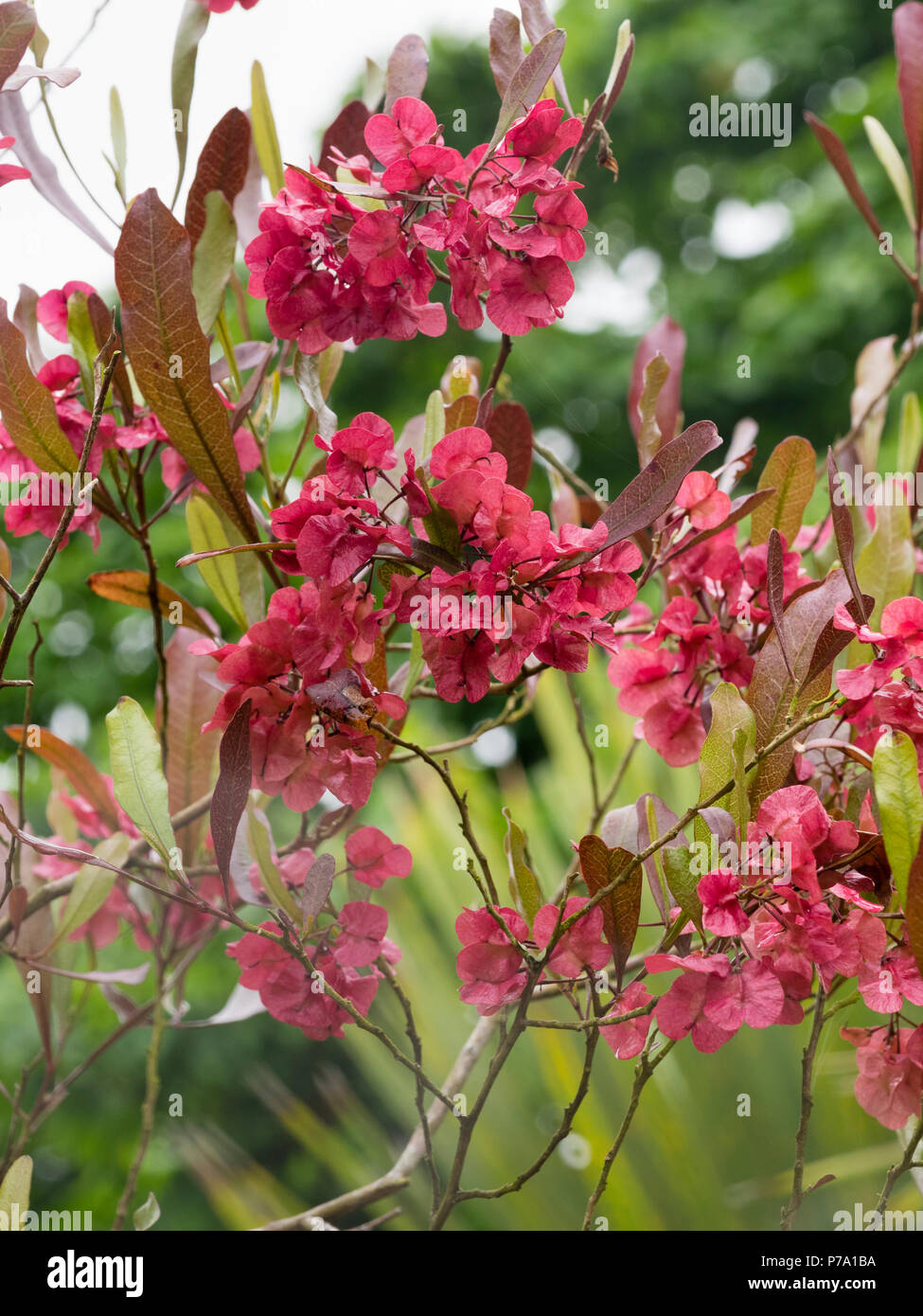 Showy red seed heads of the evergreen hop bush, Dodonaea viscosa - Stock Image