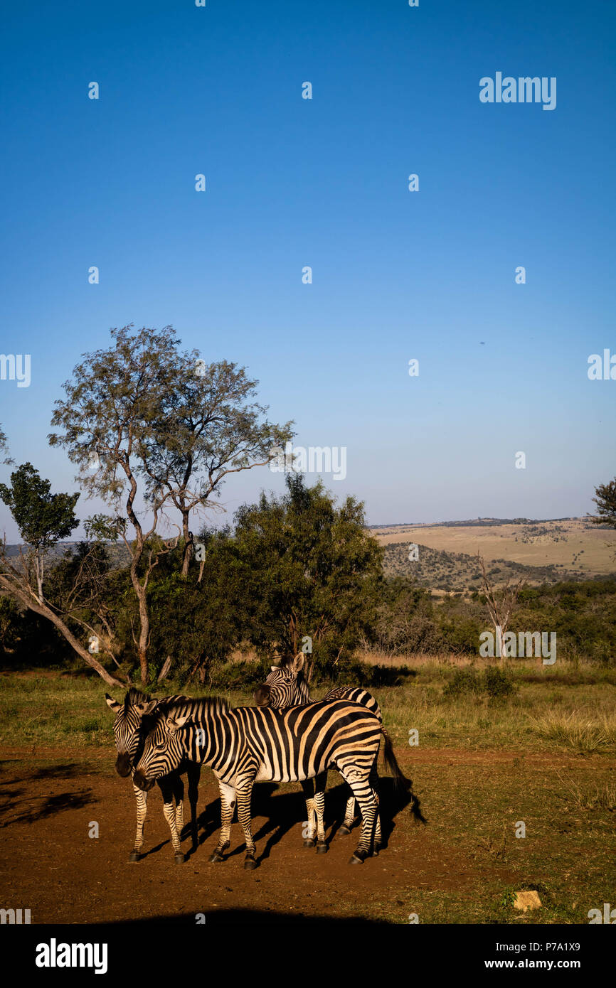 Zebra standing in front of a tree under a clear blue sky at the Lion and Safari Park in Hartbeespoort, South Africa. - Stock Image