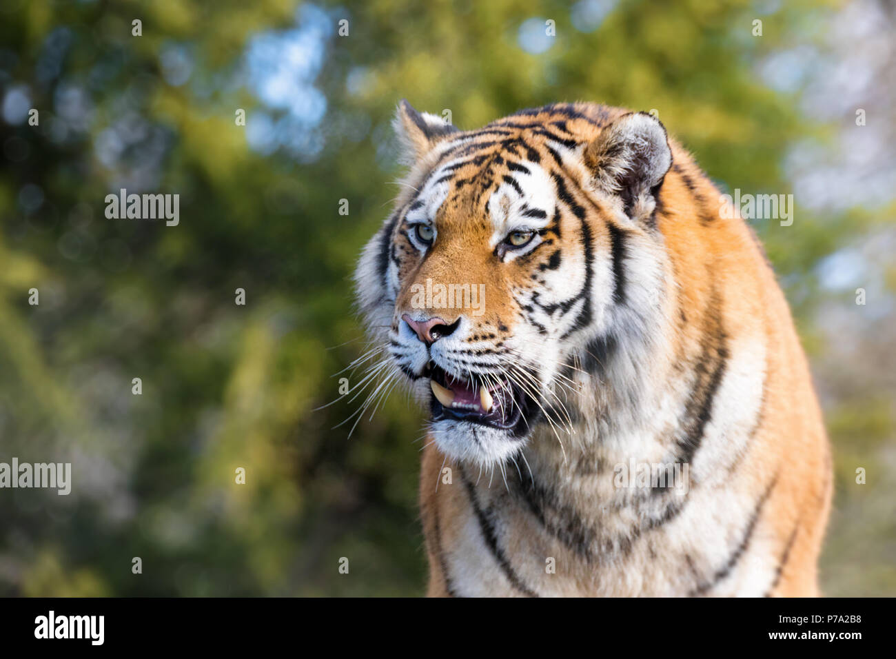 Young adult Siberian tiger, otherwise known as the Amur Tiger, bares his teeth. These big cats are indigenous to far eastern Russia. - Stock Image