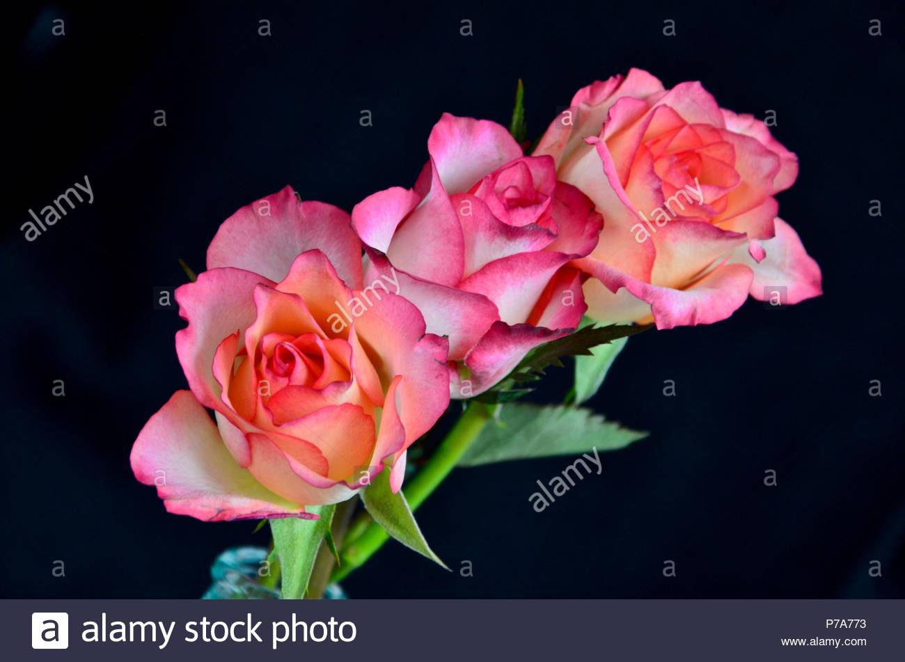 Three roses pink colored roses queen of flowers concept trio three roses pink colored roses queen of flowers concept trio bridal bouquet fragrance rose oil colorful beauty gift mightylinksfo