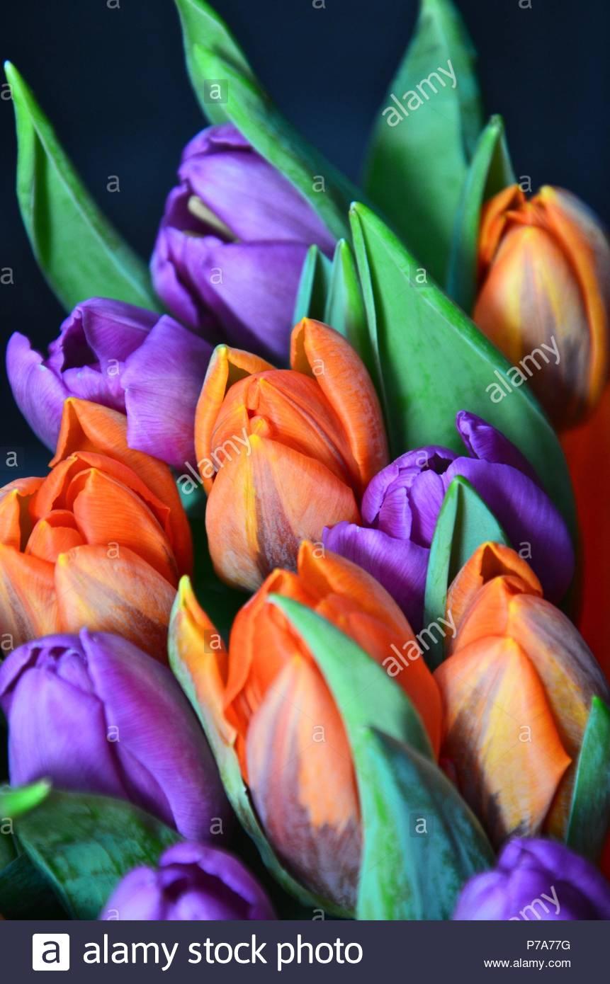 Bouquet of orange and purple colored tulips flowers woman gift bouquet of orange and purple colored tulips flowers woman gift birthday celebration netherlands green flower decoration vase izmirmasajfo