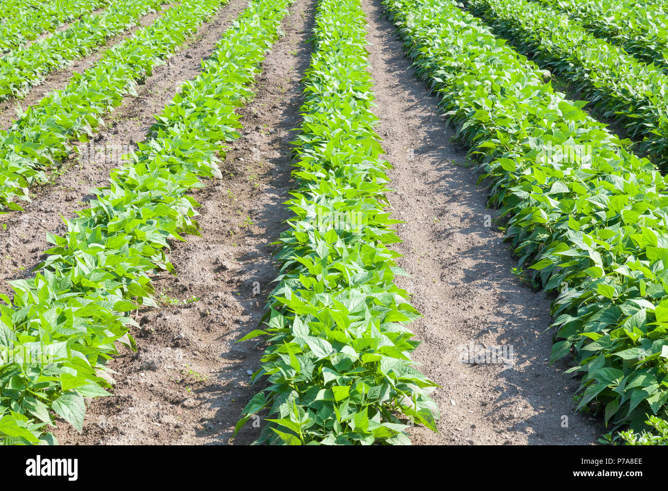 Green bean plants  growing in an agricultural field  in spring in receding rows. Farmland, crop,  agronomy, horticulture, vegetable garden - Stock Image