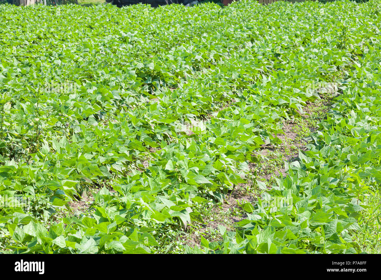 Young green bean plants growing  in an agricultural field in spring. Farm crop, agronomy, cultivation, propagation - Stock Image