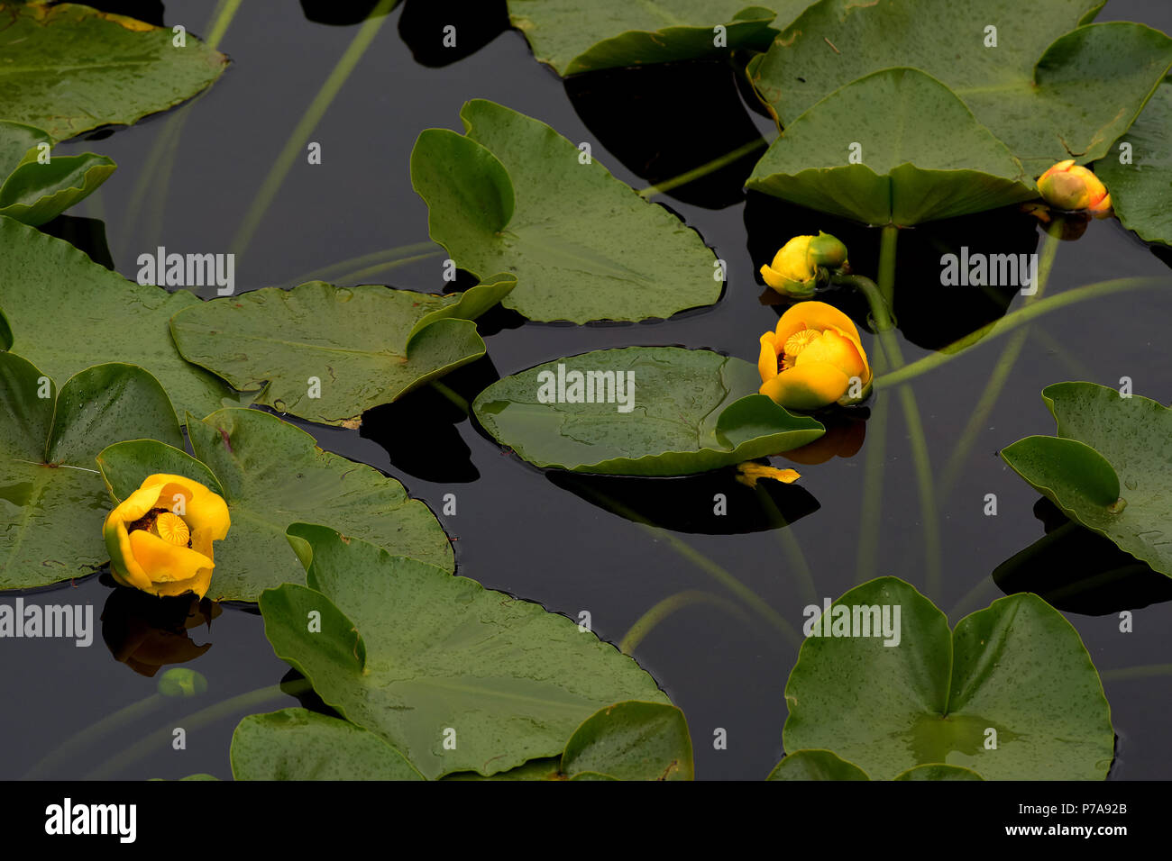 Yellow pond lily is a perennial waterlily like plant that can form yellow pond lily is a perennial waterlily like plant that can form extensive stands in shallow waters of lakes and ponds mightylinksfo