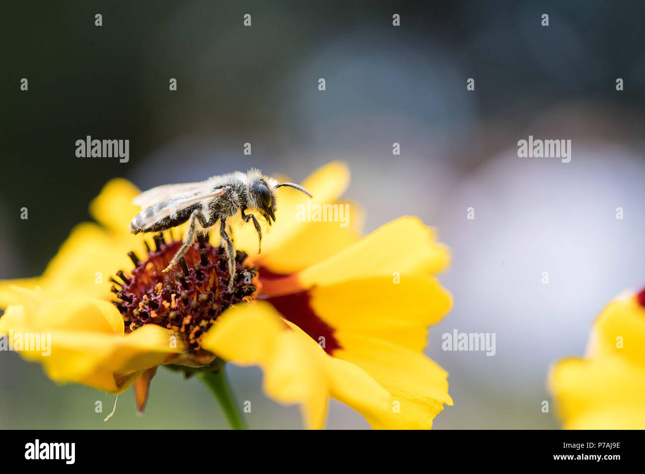 03 July 2018, Germany, Stuttgart: A wild bee in a field, which the Wilhelma Zoo has specially arranged for wild bees. Photo: Sebastian Gollnow/dpa - Stock Image