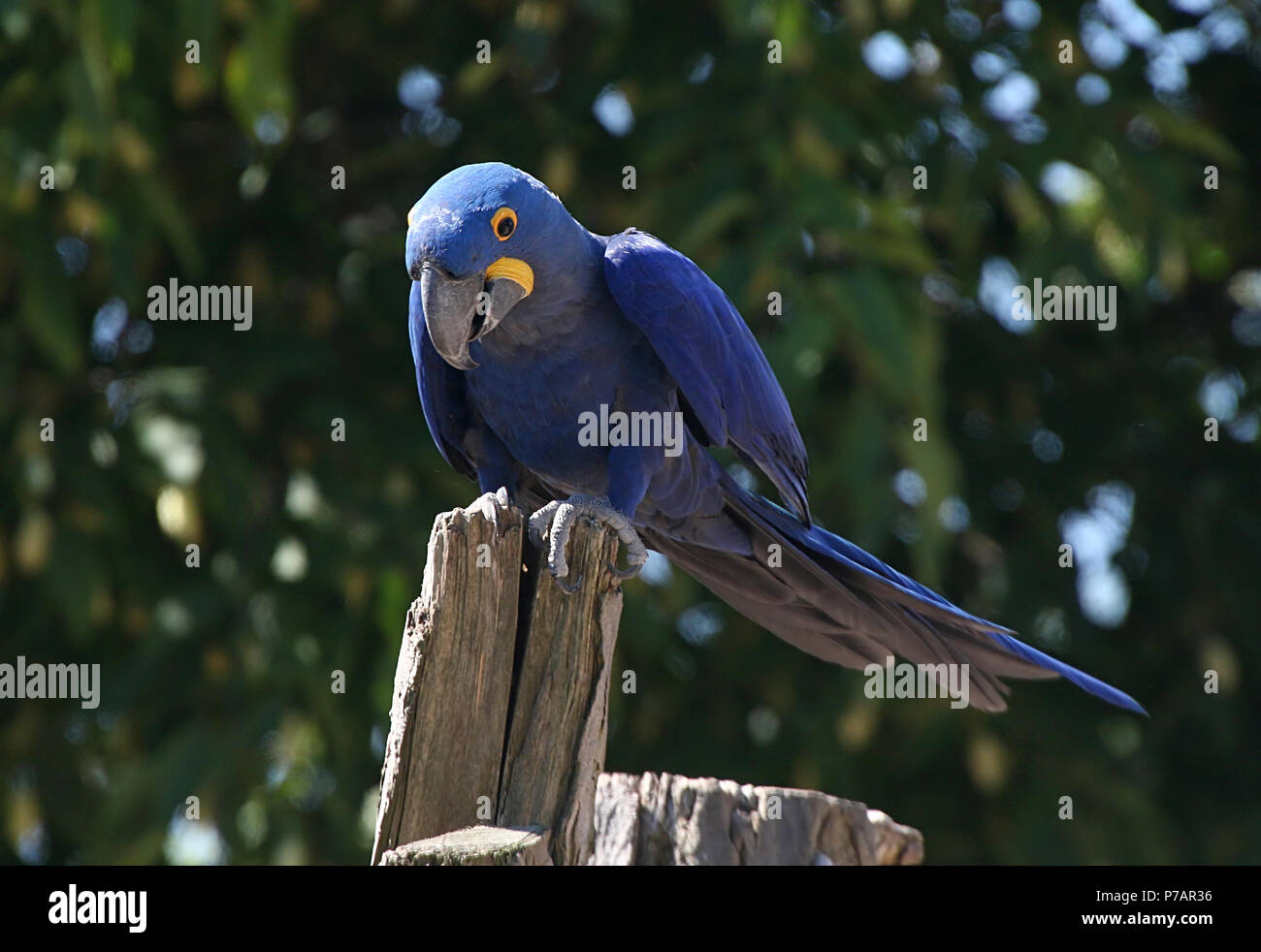 South American Hyacinth Macaw (Anodorhynchus hyacinthinus). in closeup. Stock Photo