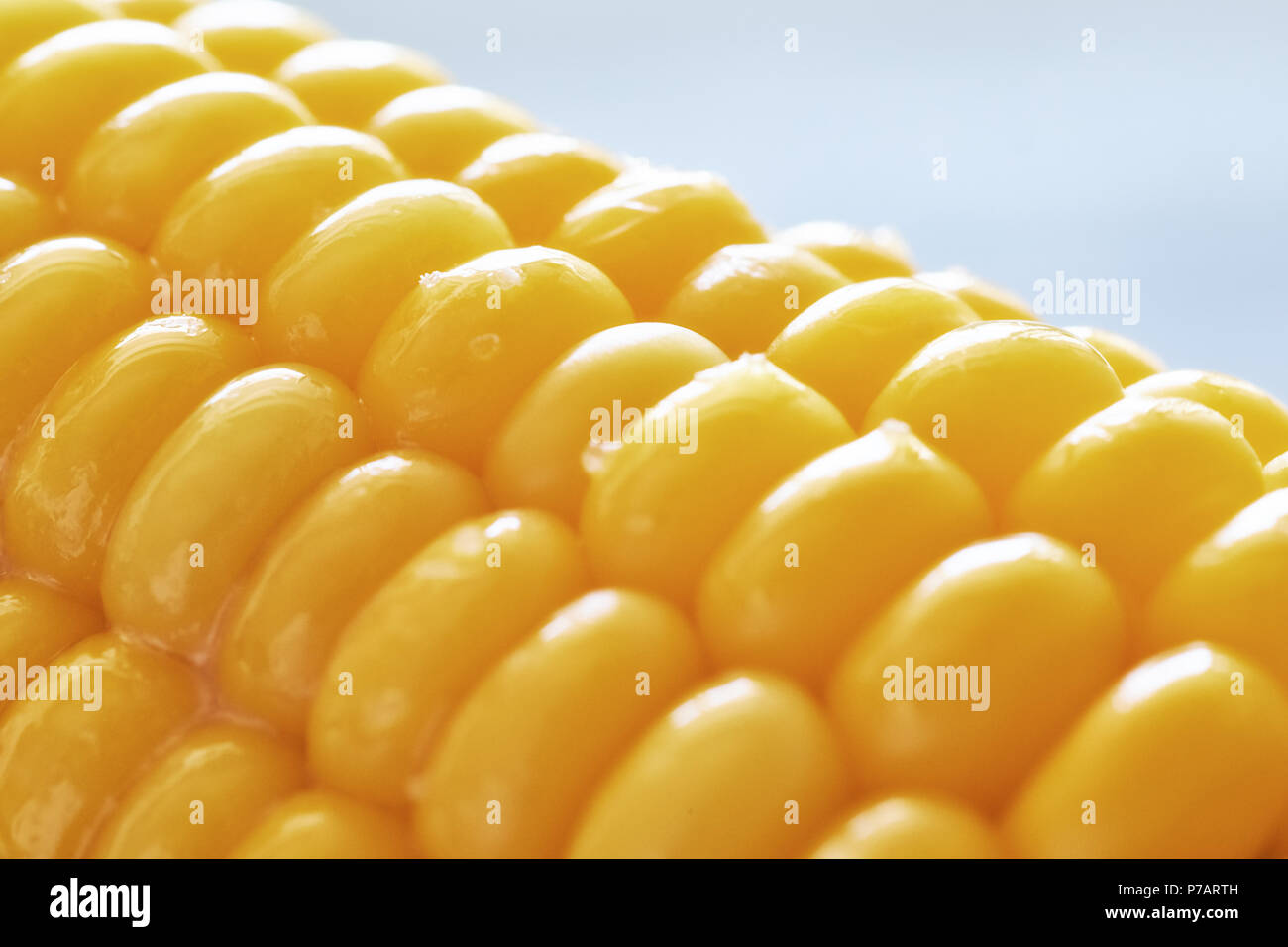 Close-up on oiled corn on the cob on neutral background - Stock Image