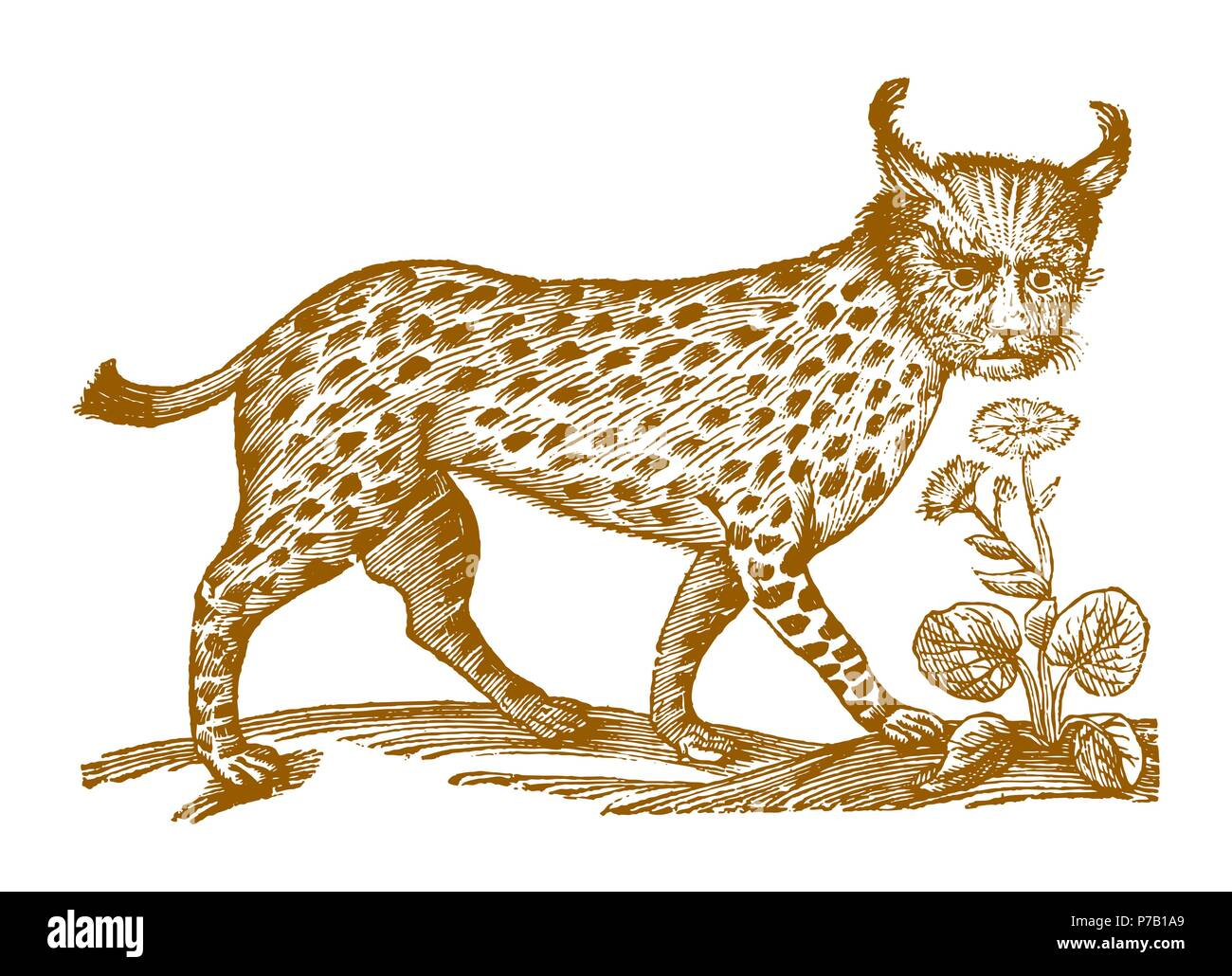 Eurasian lynx in profile view. Illustration after a historic woodcut engraving from the 17th century - Stock Image