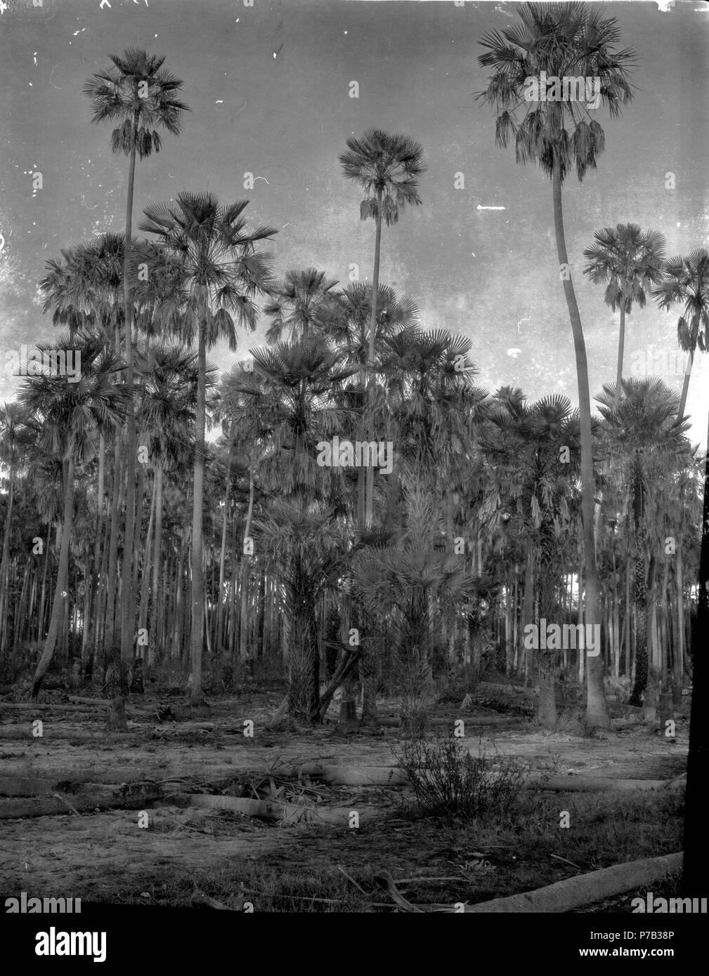 176 Palmskog Vid Rio Pilcomayo Fotografititel Katalogkort Hoga