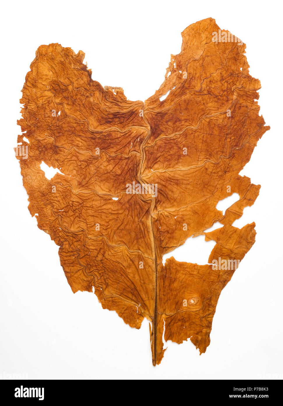 A 1943 heart shaped souvenir tobacco leaf collected in North Carolina during World War II.  The leaf has been pressed flat in a photo album since 1943 - Stock Image