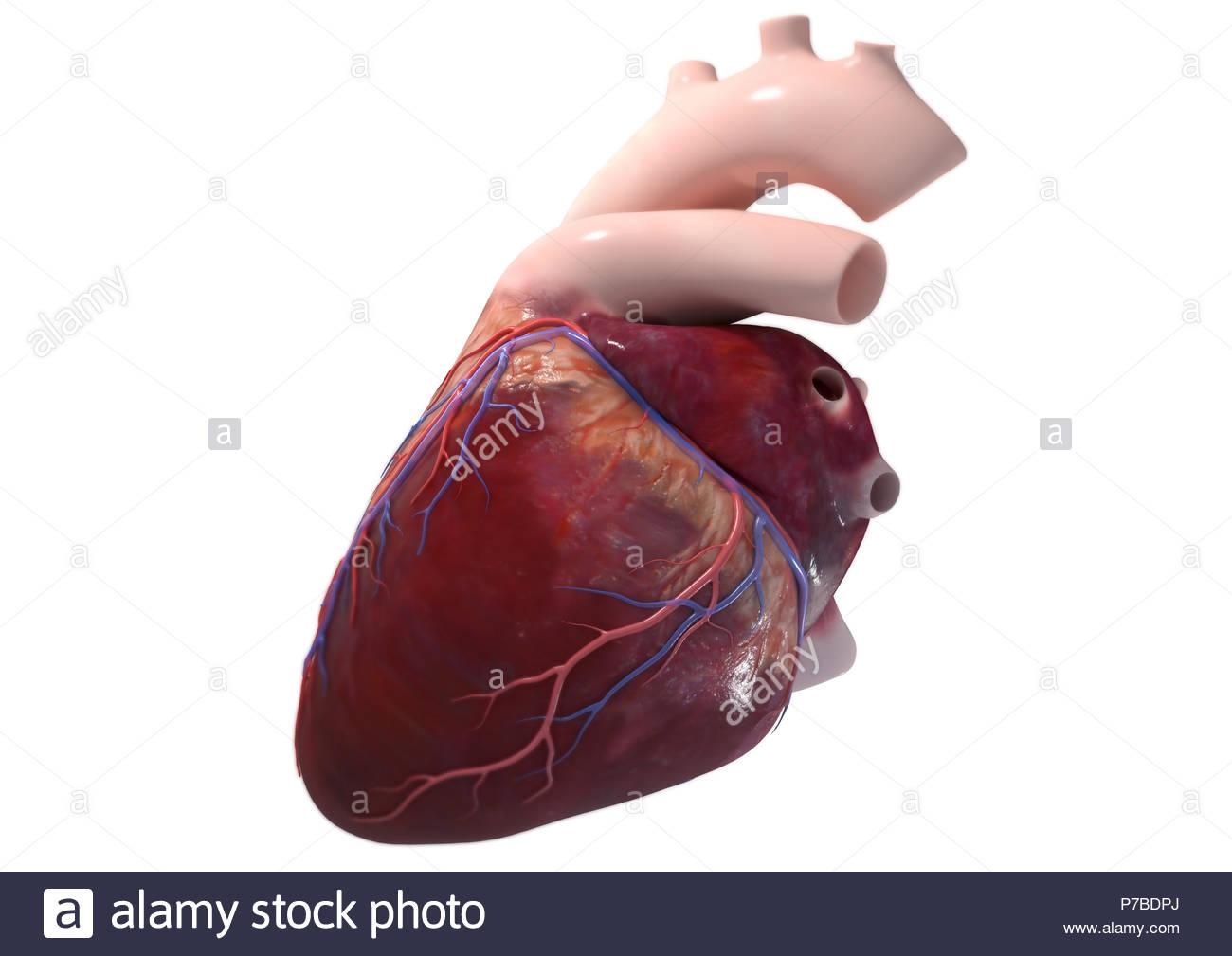 Left Subclavian Artery Stock Photos Left Subclavian Artery Stock