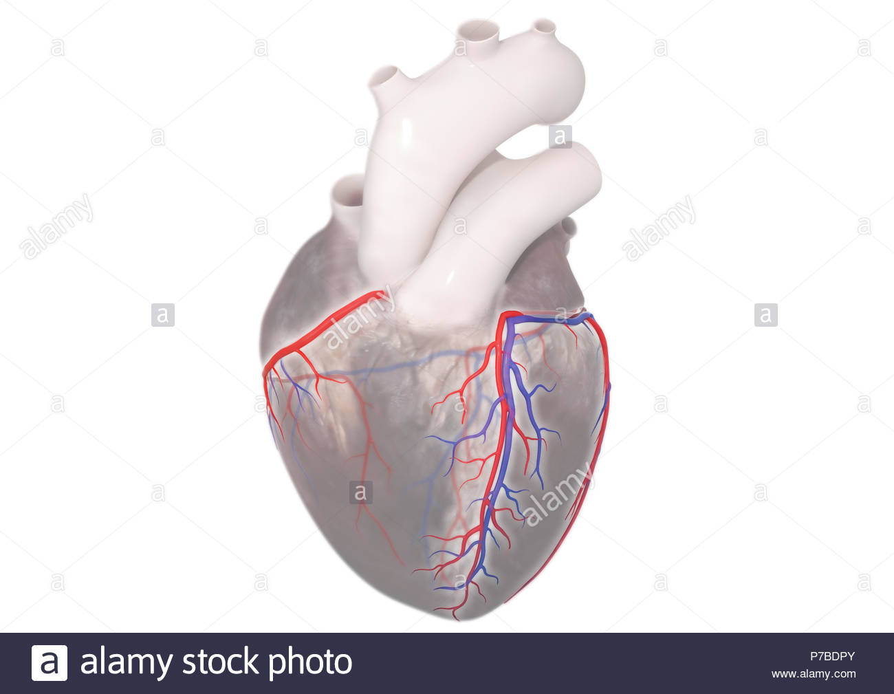Cross Sectional Image Of Heart Stock Photos & Cross Sectional Image ...