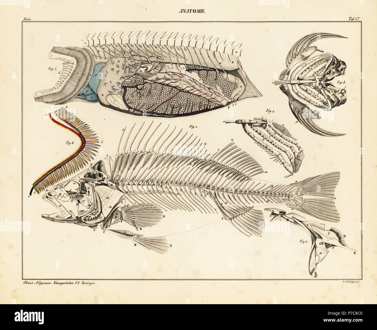 Anatomy Of A Fish Showing Skeleton Internal Organs And Gills