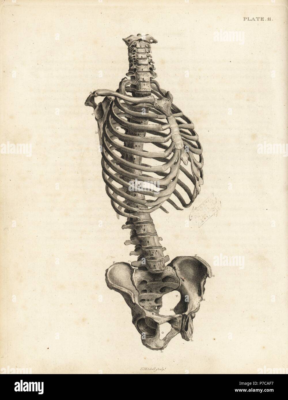 Front View Of The Human Trunk Skeleton Including Spine Ribs And