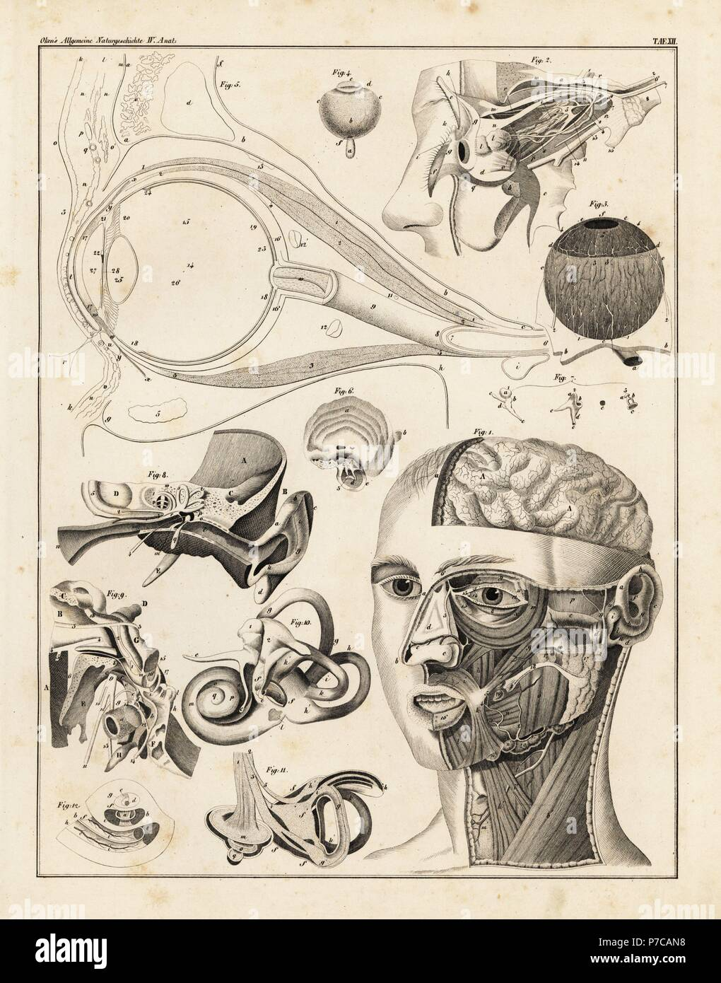 Anatomy of the human ear and eye. Lithograph from Lorenz Oken\'s ...