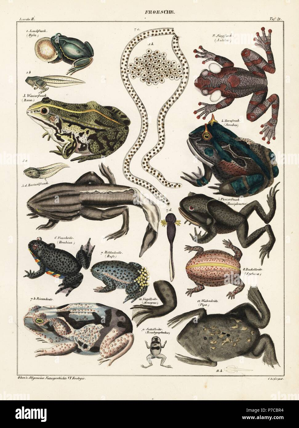 Frogs, toads and tadpoles. European tree frog, Hyla arborea, rattle-voiced tree frog, Auletris crepitans, edible frog, Rana esculenta, shrinking frog, Pseudis paradoxa, Surinam horned frog, Stombus cornutus, Spix's horned tree frog, Hemiphractus scutatus, fire-bellied toad, Bombina bombina, midwife toad, Alytes obstetricans, cane toad, Rhinella marina, giant rain frog, Breviceps gibbosus, pumpkin toadlet, Brachicephalus ephippium, African clawed frog, Xenopus laevis, and Suriname toad, Pipa pipa. Lithograph by C. Loeffler from Lorenz Oken's Universal Natural History, Allgemeine Naturgeschichte - Stock Image