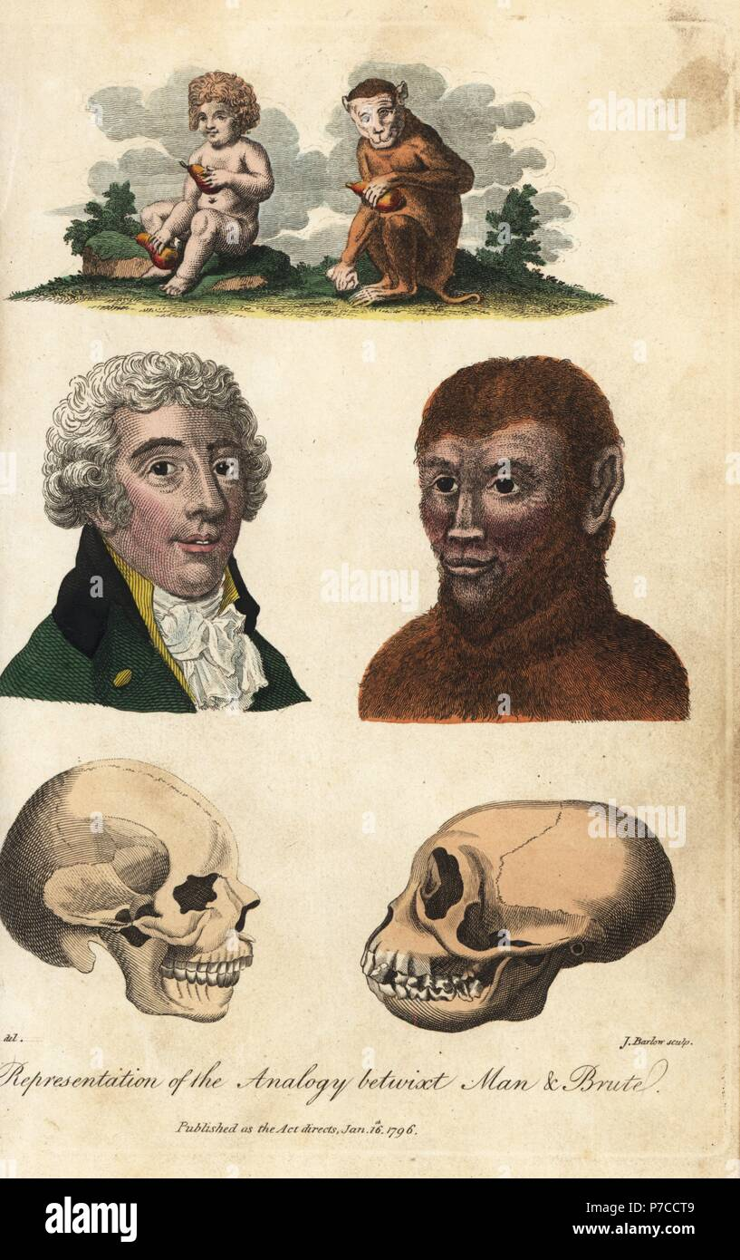 Representation of the analogy betwixt man and brute. Child and monkey with fruit, portrait of man and ape, skulls of man and ape. Handcoloured copperplate engraving by J. Barlow after an illustration by Johann Jakob Ihle from Ebenezer Sibly's Universal System of Natural History, London, 1795. - Stock Image