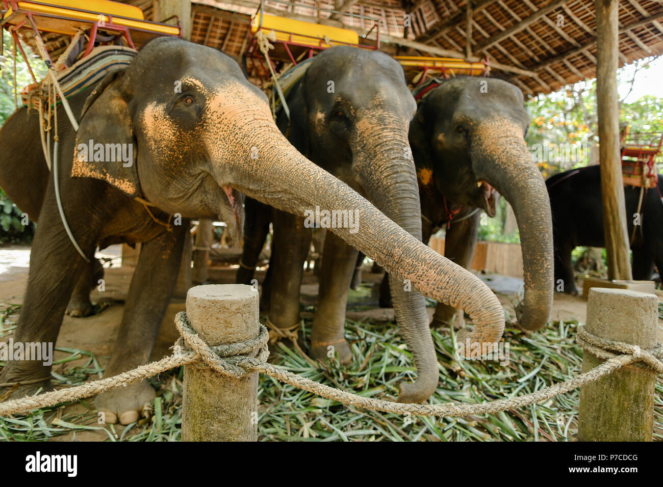 Tamed elephants with yellow saddles standing and waiting for tourists. - Stock Image